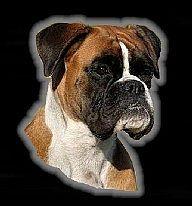 Boxer vom buldergeist for Amica wuppertal